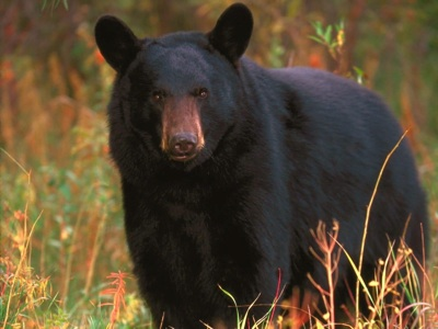California-Black-Bear-3.jpg